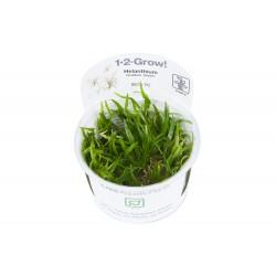 Helanthium tenellum `green`