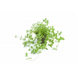 Rotala sp green