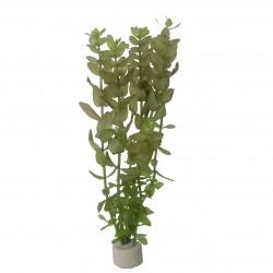 Bacopa caroliniana (bouquet)