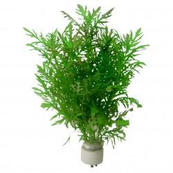 Hygrophila difformis (bouquet)