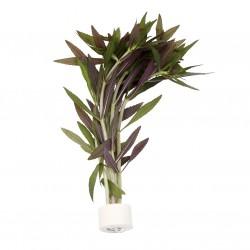 limnophila aromatica (bouquet)