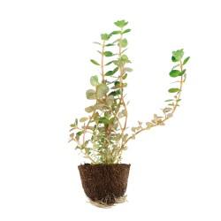 Rotala rotundifolia (blister)
