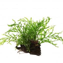 Bolbitis heudelotii on root