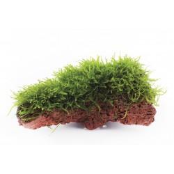 Taxiphyllum barbieri (On rock)