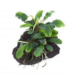 Bucephalandra 'Wavy Green'...