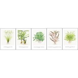 Tropica ART CARDS Cyperus...